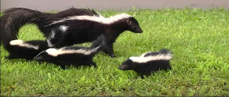 Baby Skunk Removal
