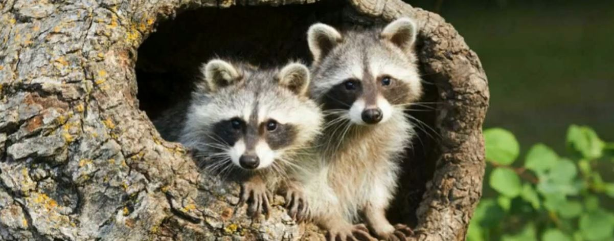 Do Raccoons Live In Trees And Sleep In Trees